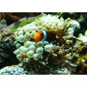 Entacmaea quadricolor - Taille S