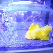 Heteractis crispa jaune photo individuelle - Taille M