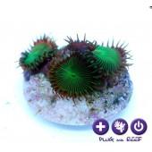 Protopalythoa sp. - Nuclear green -