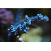 Acropora bleu acier taille M