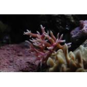 Seriatopora hystrix rose - Taille S