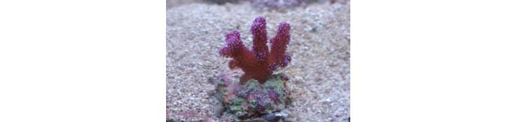 Boutures de coraux durs