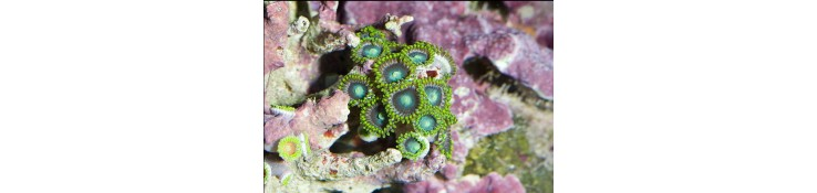Boutures de coraux mous