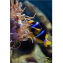 Amphiprion clarckii - M