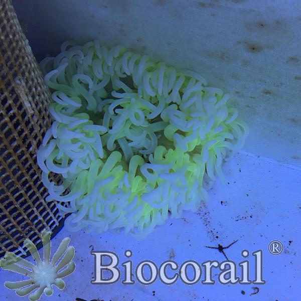 Macrodactyla doreensis – XL
