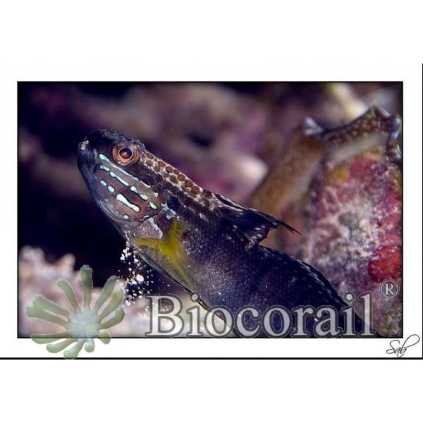 Amblygobius phalaena – M mangeur de cyanobactérie rouge