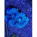 Bénitier T squamosa bleu taille M élevage