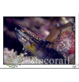 Amblygobius phalaena – XL