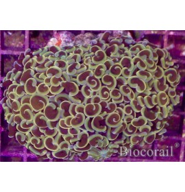 Euphyllia ancora jaune/orange – L