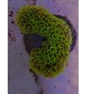 Euphyllia ancora jaune/orange – L