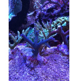 Acropora bicolor - Taille M