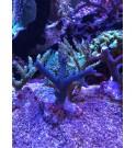Acropora bleu acier - Taille M