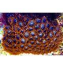 WYSIWYG 1 Zoanthus sp. - Alfa & Omega -taille L