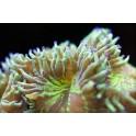 Catalaphyllia vert XL