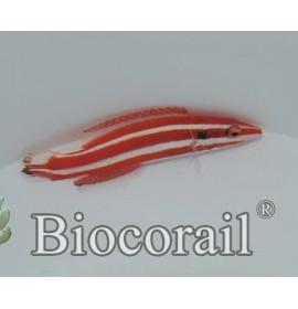bodianus opercularis