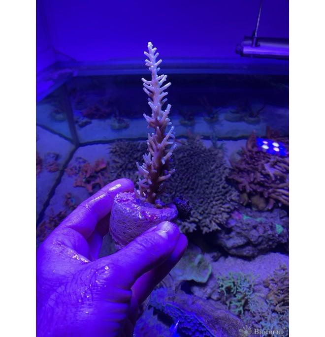 Acropora n°1 photo individuelle