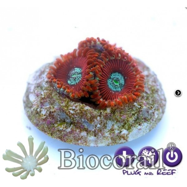 Zoanthus sp. - Red Magician -