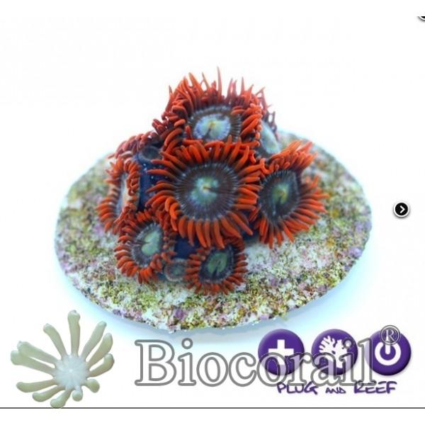 Zoanthus sp. - Alfa & Omega -