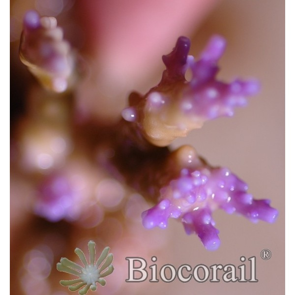 Acropora rose taille M
