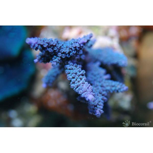 Acropora bleu marine intense taille S