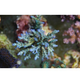 Acropora nana taille S