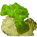 Caulastrea furcata jaune vert