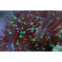 Euphyllia divisa pointes verte et rosé taille M