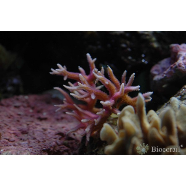 Seriatopora hystrix rose taille M