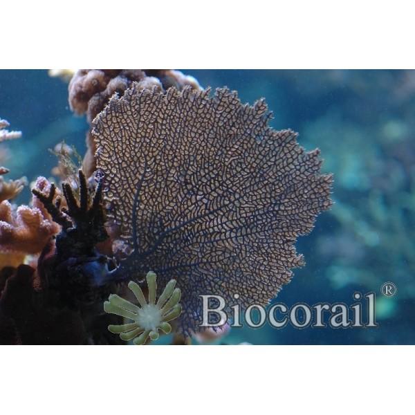 Gorgonia ventalina violette taille XL