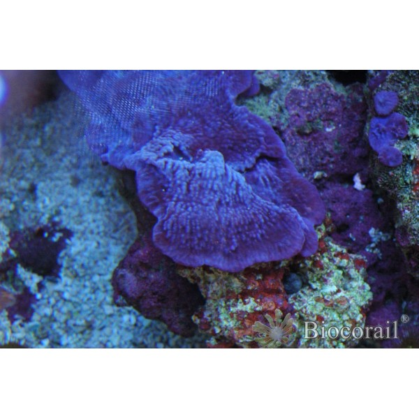Eponge bleue violette symbiotique taille M