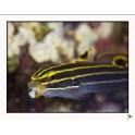 Koumansetta hectori (ex Amblygobius) - L