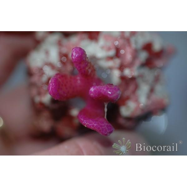 Stylophora pistillata rose bonbon taille S-M
