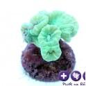 Caulastrea furcata