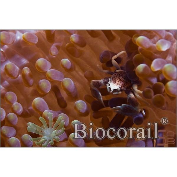 Neopetrolisthes maculatus – M