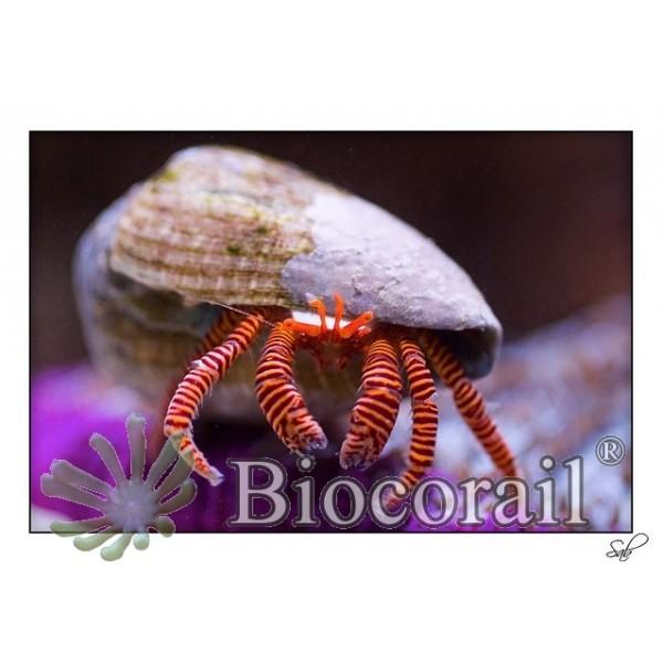 Trizopagurus strigatus – L