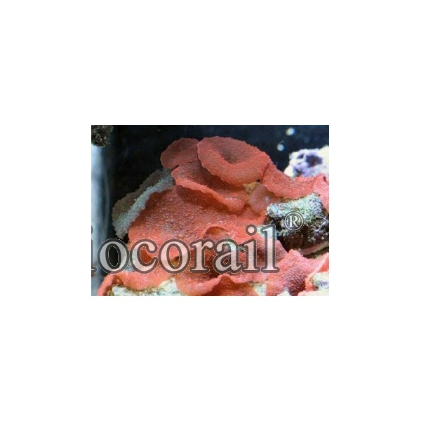 Discosoma cardinalis